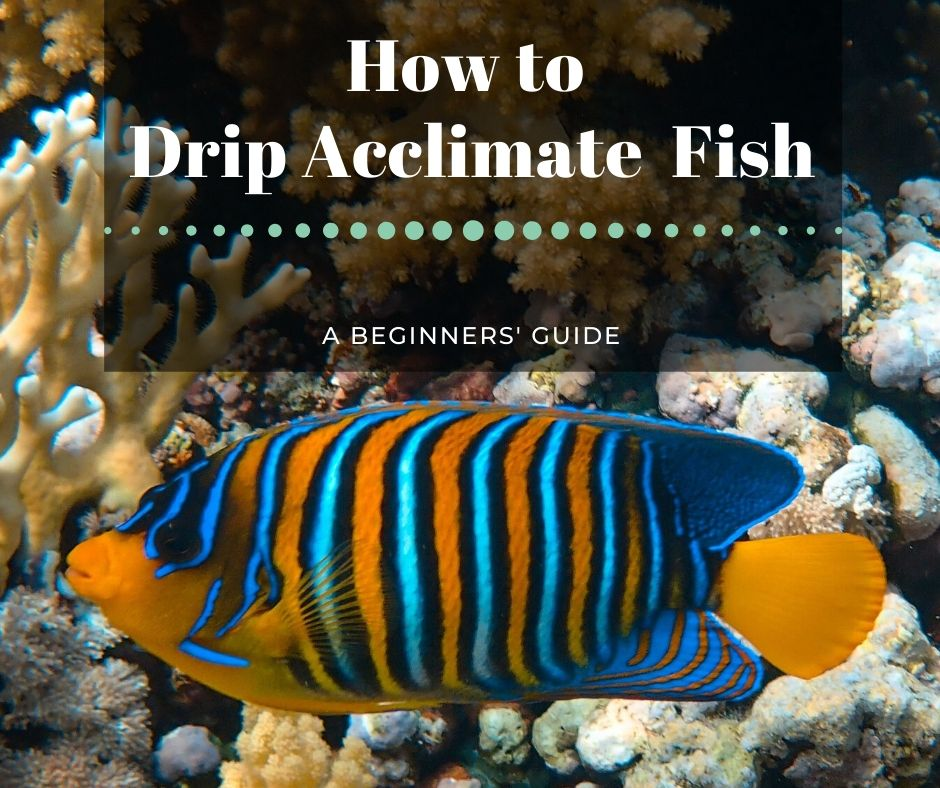 Reef Stable - Saltwater Fish Tank Blog - How to Acclimate a Fish - Drip Acclimation
