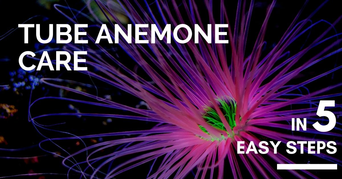 Reef Stable - Saltwater Fish Tank Blog - Tube Anemone Care in 5 Easy Steps - Ceriantharia